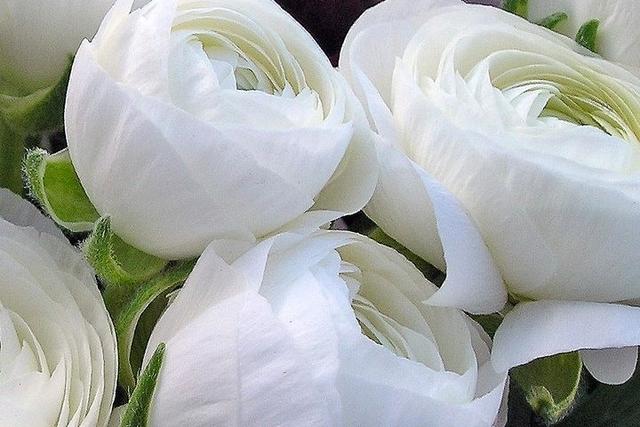 Acheter renoncule blanche en ligne les bulbes a fleurs for Acheter fleurs en ligne