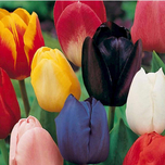 Bulbes Tulipes