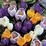 Bulbes de Crocus