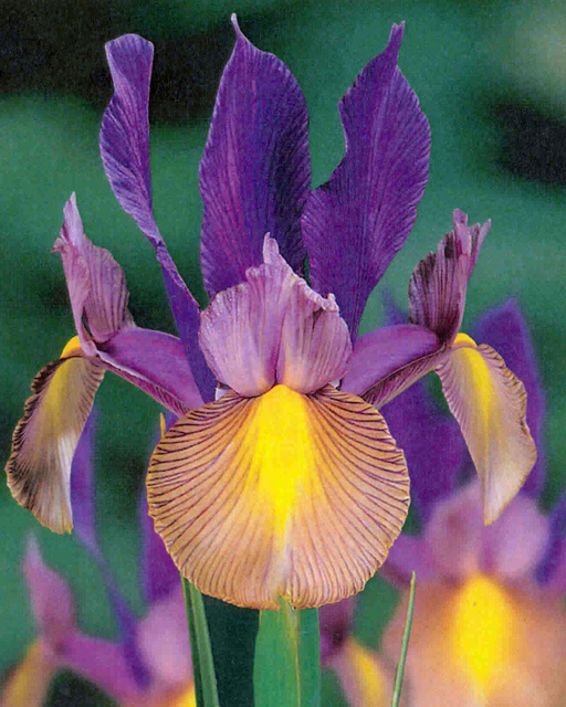 achat iris de hollande festa acheter iris de hollande. Black Bedroom Furniture Sets. Home Design Ideas