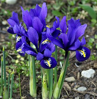 achat iris reticulata en ligne pas cher. Black Bedroom Furniture Sets. Home Design Ideas