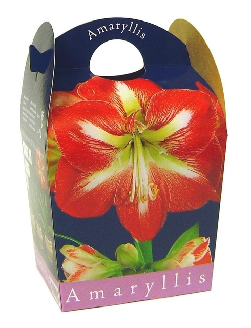 Achat bulbes d 39 amaryllis en ligne amaryllis bulbes for Acheter amaryllis