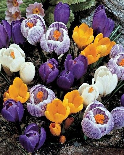 achat crocus grandes fleurs en m lange en vrac en ligne pas cher. Black Bedroom Furniture Sets. Home Design Ideas