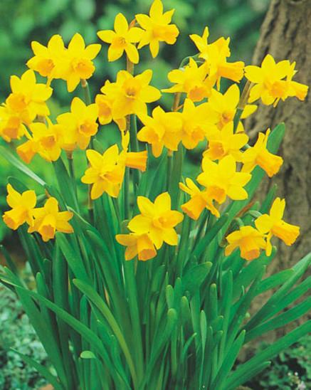 achetez vos jonquilles prfres sur lesbulbesafleurscom narcisse fleur - Fleur Jonquille