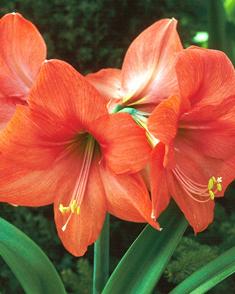 Achat amaryllis orange en ligne pas cher for Amaryllis achat bulbe