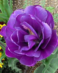 Bulbe Tulip Blue Diamond