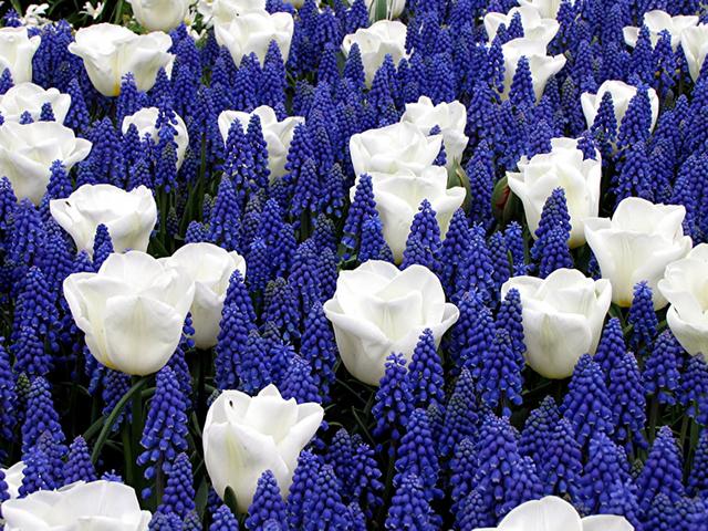 achat bulbes de printemps bleu et blanc en ligne pas cher. Black Bedroom Furniture Sets. Home Design Ideas
