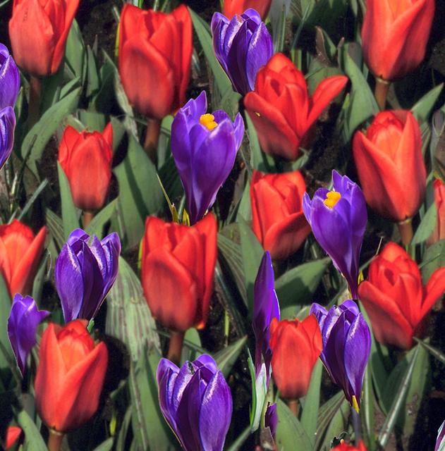 achat tulipes et crocus en m lange en ligne pas cher. Black Bedroom Furniture Sets. Home Design Ideas