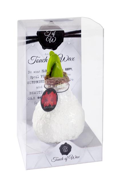Achat amaryllis cire glamour blanc en ligne pas cher for Amaryllis achat bulbe