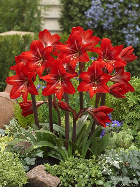 Achat sonatini l amaryllis rouge amaryllis pour le jardin for Les amaryllis