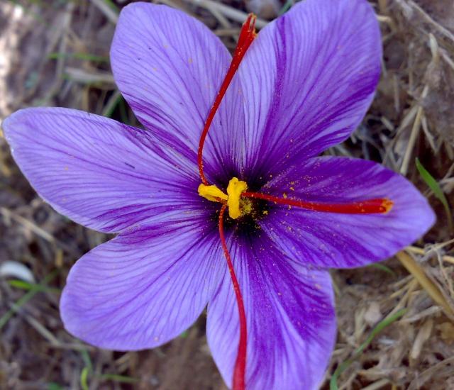 achat crocus sativus crocus safran en vrac xl en ligne pas cher. Black Bedroom Furniture Sets. Home Design Ideas