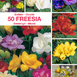 Freesias doubles en m�lange