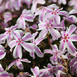 Phlox Subulata Candy Stripes - Phlox mousse