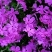 Phlox Subulata Purple Beauty - Phlox mousse