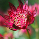 Astrances (Astrantia Major Lars)