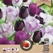 Tulipe Purple Passion en Mélange