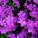 Phlox Subulata Purple Beauty - Phlox Mousse (Pack de Trois)