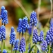 Muscari Armeniacum  - Jacinthes à grappes (En Vrac)
