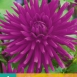 Dahlia Purple Gem
