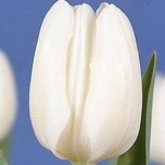 Tulipes White Dream - Winterberg (en vrac)