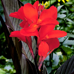Canna rouge