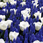 Bulbes de printemps Blue et Blanc