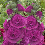 Rose trémière Purple