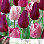 Tulipes rouge & rose fonc� en m�lange