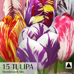 Tulipes Rembrandt Mix