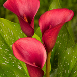 Zantedeschia Carmin Red