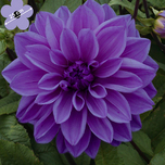 Dahlia Dinnerplate Lilac Time
