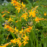Crocosmia Yellow Sunshine (Plantes en Pot)