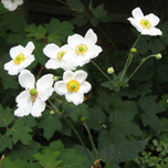Anemone Honorine Jobert en pot