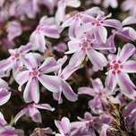 Creeping Phlox Subulata « Candy Stripes »