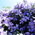 Creeping Phlox Subulata « Phlox mousse Bleu Clair »