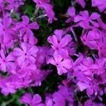 Phlox subulata « Purple Beauty »