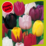 Tulipes Triumph Mix (en vrac)