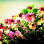 Achat plantes rose de no l acheter rose de no l en ligne for Plante rose de noel