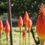 Kniphofia « Royal Castle »(Plantes en Pot)