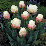 Tulipes Ice Cream