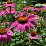 Échinacée « Pink Pearl » (Echinacea)