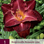 Hémérocalle Burgundy Love