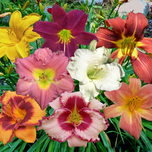 Hemerocallis Mix
