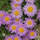 Aster Alpinus « Happy End »