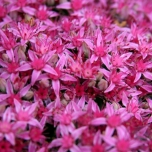 Orpin rose « Carl » - Sedum spectabile