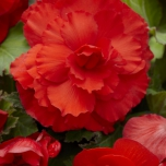 Begonia F1 Superba Rouge