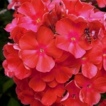 Phlox Paniculata 'Orange Perfection' (Pack de Six)