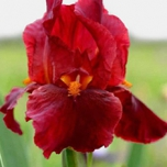 Iris Germanica Red Zinger - Iris d'Allemagne (Pack de Six)