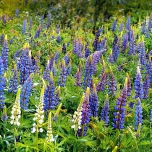 Lupinus Gallery Blue - Lupin