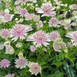 Astrances (Astrantia Major) Plantes en Pot